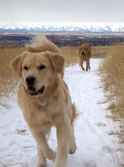 Dec 3/11 - Nose Hill Chase (sdriegel) Tags: park mountains calgary dogs doug chase rockymountains griffin goldenretrievers nosehill