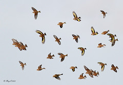 Finches galore (roychurchill (local patch birder)) Tags: bird birds wildlife goldfinch flock devon finches bif northdevon linnet