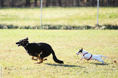Dog Chase (wmliu) Tags: dog animal puppy action jackrussell chase germanshepherd creature wangwang wmliu