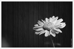 (Fahad Al-Robah) Tags: wood white black flower rose tears dew hussein