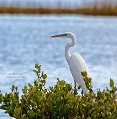 Great Blue Heron - White Morph (Marcus Sharpe) Tags: blue 6 white heron nature birds island december marcus florida great birding morph merritt sharpe 2011