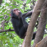 "Adolescent Chimp in Tree <a style=""margin-left:10px; font-size:0.8em;"" href=""http://www.flickr.com/photos/14315427@N00/6505682007/"" target=""_blank"">@flickr</a>"