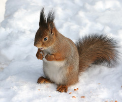 Bring More Next Time (TomiTapio) Tags: winter snow feet face mouth helsinki eyes squirrel toes iso400 ears wintercoat whiskers personalfavorite orava paws écureuil sciurusvulgaris sqrl eartufts canonef85mmf18usm eurasianredsquirrel kurre winterfur suursuo
