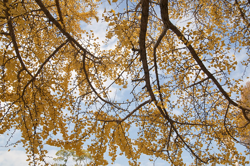 Under the gingko tree @ Osaka Castle
