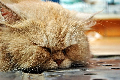 From flickr.com: fat cat {MID-96896}