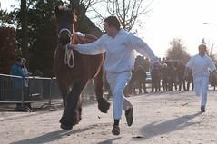 DSC_1478 (Ton van der Weerden) Tags: horses horse dutch de cheval belgian nederlands belges draft chevaux noordbrabant belgisch trait 2011 gerwen trekpaard veulenkeuring
