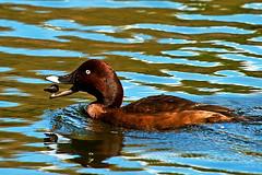 Hardhead Duck Lunch Time (Reevo FNQ) Tags: lake bird nature water duck pond critter wildlife australia qld creature goldcoast animaladdiction canon100400mm canon7d