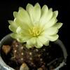Frailea dadakii (Klavdiy Kispoev) Tags: frailea кактусы