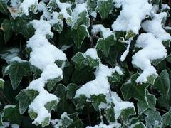. (AFIK  BERLIN) Tags: xmas schnee snow berlin advent adventszeit ivy weihnachtszeit christmastime aalborg efeu aalborgteater