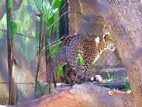 The Cranky Cheetah