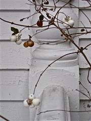 White On White (smilla4) Tags: white berries maine oldhouse oldpaint