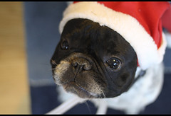 Rocco would like to say merry christmas to you all (diegofornero (destino2003)) Tags: dog french bulldog rocco bouledogue diegofornero