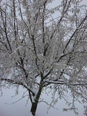 Snow on a filbert tree (growing hazelnuts) Tags: