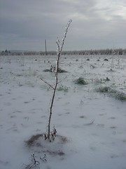 ice (growing hazelnuts) Tags: