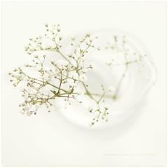 White on White (Samantha Nicol Art Photography) Tags: white flower macro art glass square soft babies dof bokeh breath jar jug elegant samantha delicate nicol