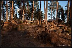 Rotvältor (mmoborg) Tags: trees storm sweden fallen sverige träd christmasday dagmar 2011 tallar fallna mmoborg mariamoborg rotvältor christmasdaystorm