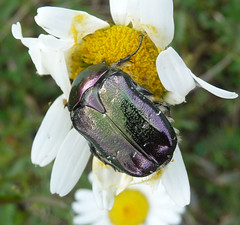 Cetonia aurata. (gailhampshire) Tags: hungary coleoptera scarabaeidae cetonia aurata cetoniinae