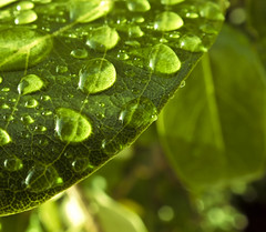 Thirsty Leaf (snkoigi) Tags: morning green leaves drops gloss waterdrops