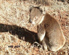 Special visitor! (YOU, with the crooked smile) Tags: our property special koala visitor