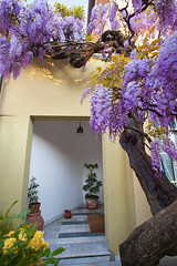 "Amazing Wisteria • <a style=""font-size:0.8em;"" href=""http://www.flickr.com/photos/55747300@N00/6650145137/"" target=""_blank"">View on Flickr</a>"