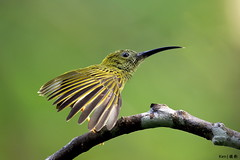 Streaked Spiderhunter #4 (kengoh8888) Tags: green ngc clean npc perch streaked bukit tinggi specanimal spiderhunter