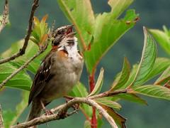 Tico-tico? (Jakza) Tags: passeioparaosóriojan12 aves bird ticotico thewonderfulworldofbirds frenteafrente nanaturezainnature duetos gamewinner pregameduel factorywinner friendlychallenges
