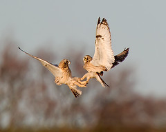 Fight (Andrew Haynes Wildlife Images) Tags: bird nature wildlife flight northamptonshire owl shortearedowl ajh2008