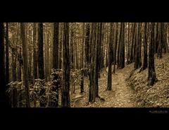 come lead me astray (elmofoto) Tags: california trees monochrome northerncalifornia sepia landscape woods path marin fav20 norcal tamalpais fav30 muir gettyimages 1000v fav10 fav40 afsdxzoomnikkor1870mmf3545gifed elmofoto lorenzomontezemolo