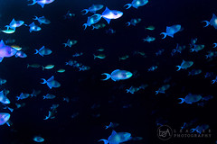 Blue Print (Lea's UW Photography) Tags: underwater maldives fins triggerfish malediven drckerfisch tokina1017mm canon7d lealee