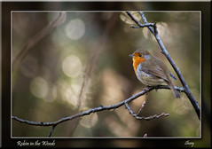 Robin in the Woods (MShoey1) Tags: park city uk winter wild england west bird london nature robin closeup digital nikon bokeh wildlife foliage shirley organic croydon watcher wickham d5000 bestcapturesaoi mygearandme blinkagain bestofblinkwinners blinksuperstars
