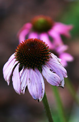 Last Purple Coneflowers of the Season (wyojones (Finally Back After A Month Away)) Tags: flowers gardens spring texas coneflowers purpleconeflowers houston arboretum np echinaceapurpurea mercerarboretum wyojones mercerarborteumandgardens easternpurpleconeflowers