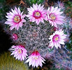 Pianta grassa 1 (Aldo433) Tags: flowers italy italia natura fiori abruzzo ortona piantagrassa flickraward
