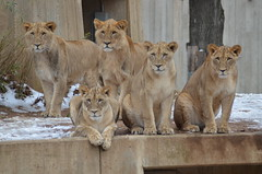 Our Cubs Are Growing Up Fast (Dan Dan The Binary Man) Tags: park winter snow male female yard mouth outside nose washingtondc smithsonian dc washington eyes districtofcolumbia looking district young posing ears columbia wdc national nz dcist nationalzoo cubs fonz mane africanlion zoological dczoo enclousure smithsoniannationalzoologicalpark snzp friendsofthenationalzoo smithsoniansnationalzoo natzoo smithsoniansnationalzoologicalpark africanlionpride