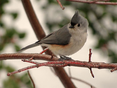 what's this white stuff... (salma1) Tags: trees yards snow cold birds maryland titmouse salma1 winter2012