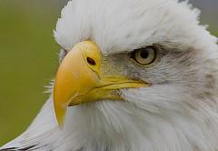 eagle stare (carl jones 71) Tags: macro eagle bald birdperfect