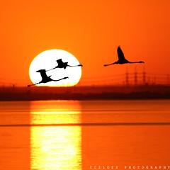 Flamingo (ZiZLoSs) Tags: silhouette canon eos flamingo usm aziz abdulaziz   600d f56l ef400mmf56lusm zizloss  ef400mm 3aziz almanie abdulazizalmanie canoneos600d