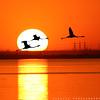 Flamingo (ZiZLoSs) Tags: silhouette canon eos flamingo usm aziz abdulaziz عبدالعزيز عزيز 600d f56l ef400mmf56lusm zizloss المنيع ef400mm 3aziz almanie abdulazizalmanie canoneos600d