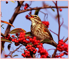 "redwing (turdus iliacus)  amongst berries ("" yer tis my ansome "") Tags: ngc devon exeter redberries redwing passeriformes thrushes turdusiliacus supershot specanimal canonef300mmf4lisusm exeterdevon avianexcellence canon7d coth5 5wonderwall grayclements hornbeamberries whitebeamberries wintervisitingbirds"