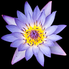 waterlily on black- (Ruth Flickr) Tags: black yellow waterlily purple ngc lilac wonderfulworldofflowers
