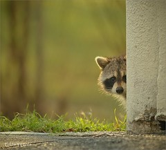 The Curious Peek (Eddie_NewYorkNature) Tags: morning light color animal morninglight fishing colorful bokeh outdoor hunting beautifullight urbanwildlife wildanimal raccoon citypark softlight wildness cuteanimal citywildlife newyorkwildlife newyorknature eddieyu blinkagain newyokcitypark huntinggreat northernreccoon