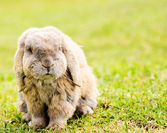 (danielle kiemel) Tags: summer baby pets cute home animals garden outdoors grey nikon january cream australia nsw rabbits centralcoast 2012 wamberal 105mmf28 dwarflop daniellekiemel nikond5000 highqualityanimals