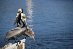 Together (Ana Encinas.) Tags: ocean blue sea naturaleza bird nature azul sonora mxico canon eos mar couple pareja pelican ave mexique sancarlos par oceano messico pelicano 550d t2i anaencinas