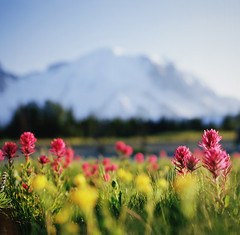 where happiness comes easily (manyfires) Tags: flowers sunset summer mountain film sunrise mediumformat square outdoors washington glow hiking hasselblad pacificnorthwest wildflowers mtrainier paintbrush hasselblad500cm mtrainiernationalpark tobeclearitwassunsetatsunrise sunrisebeingthelocationatmtrainier