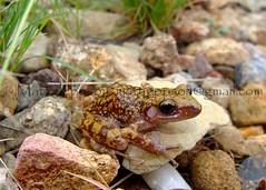 Spotted Chirping Frog - Presidio, TX 7-10 cropcol (Matt Jeppson) Tags: