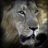 Singh is King :-)     IMG_1930-2B&W (Swaranjeet) Tags: feline cats tiger lion lioness jungle wild lionking specanimal allofnatureswildlifelevel1 peregrino27life 2012 favourites ingalleries gir lionsafari gujarat india swaranjeet sjs photos singh mumbai thane swaran swaranjeetsingh sjsvision sjsphotography swaranjeetphotography hindustan bharatvarsh indie