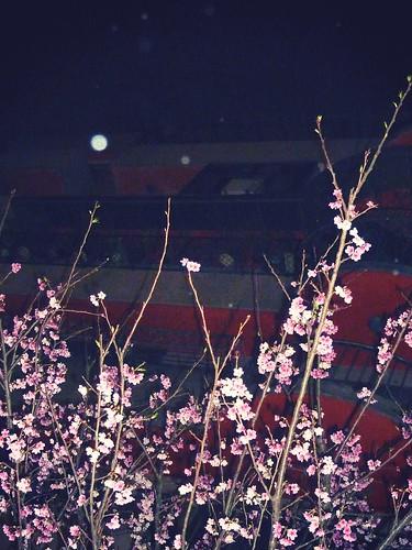 sakura 2012。台北東區一株櫻花樹