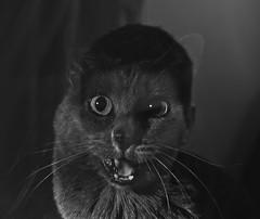 Bastet (Vasilis Amir) Tags: portrait blackandwhite monochrome cat experimental doubleexposure surreal catman twofaces  thelittledoglaughed thecatwhoturnedonandoff mygearandmebronze vasilisamir