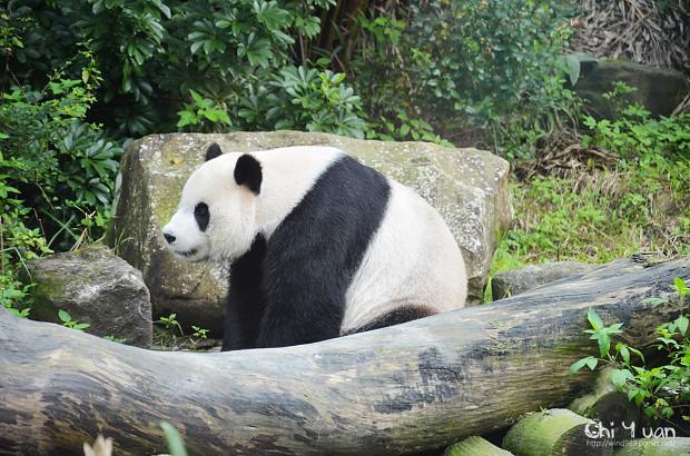 木柵動物園大貓熊11.jpg