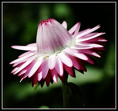 (jolee6) Tags: flower flora flowerwatcher