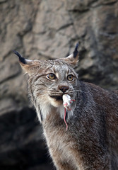 Canada Lynx with lunch (stuwagon) Tags: canada lunch mouse montreal prey biodome lynx 6d